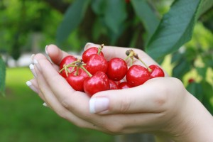 cherry-harvest